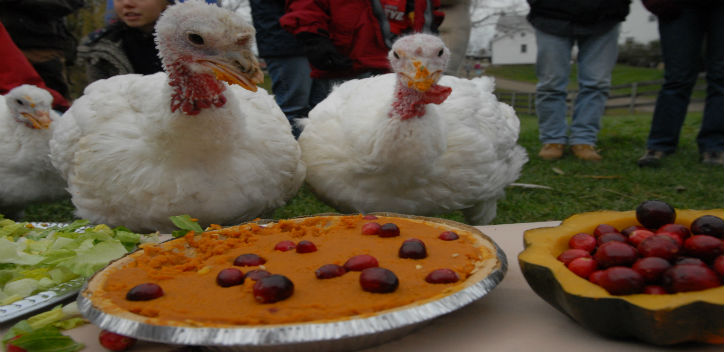Turkeys celebrate Thanksgiving with a special pumpkin pie just for them