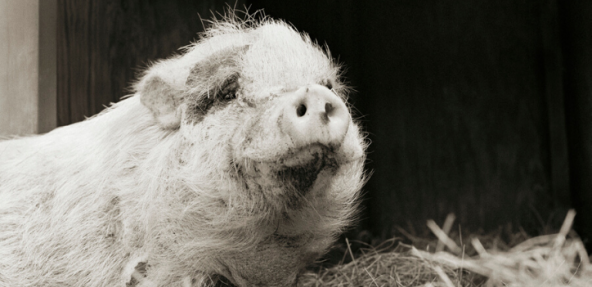 black and white image of aged pig in a bar filled with hay