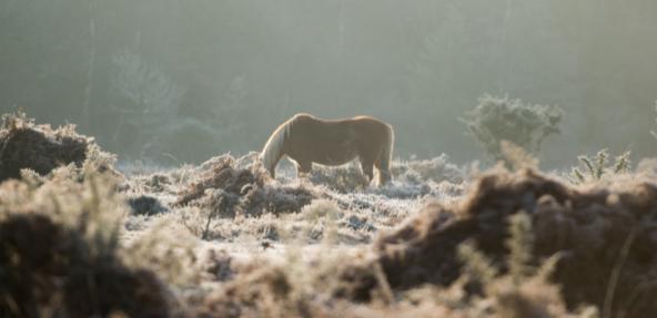 Wild pony in moorland