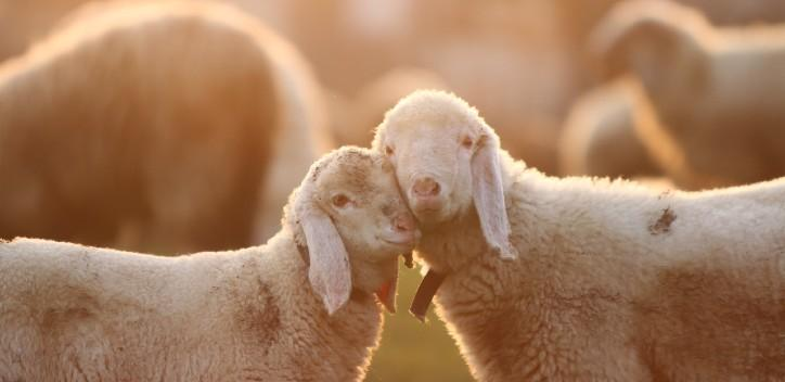 2 sheep with faces pressed together