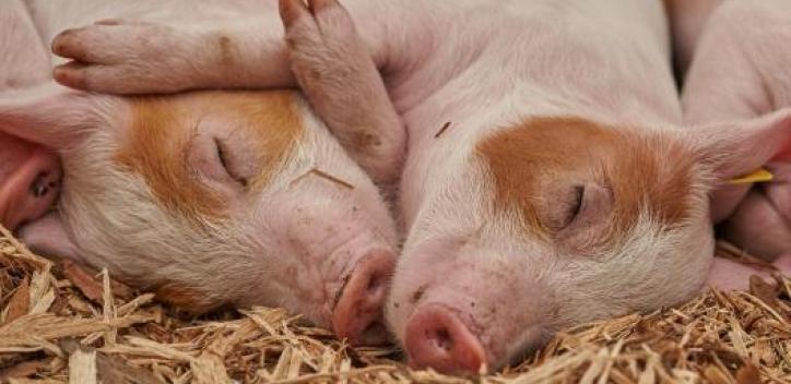 pig; piglet; pig hug