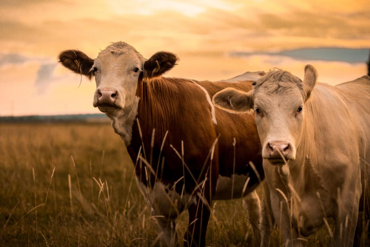 Cows in a field at dusk