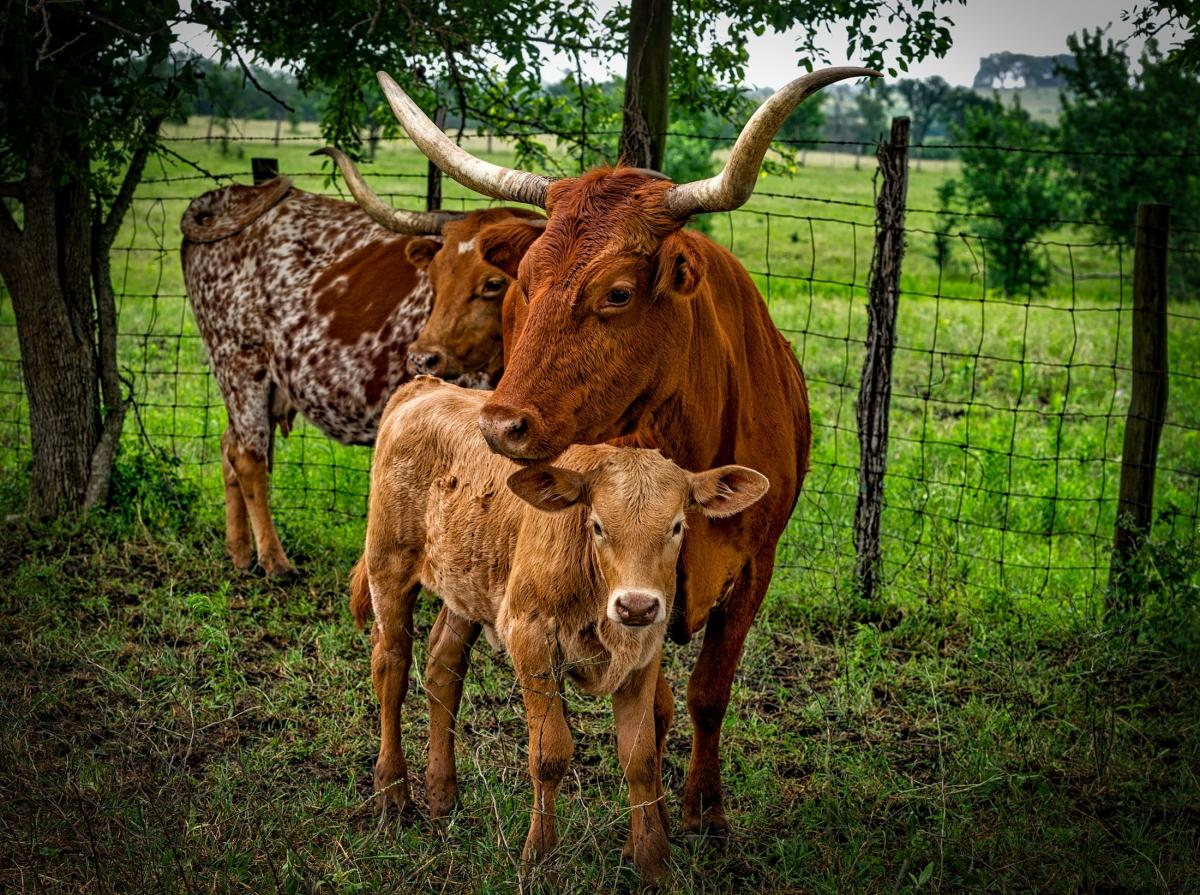 Mother cow and calf