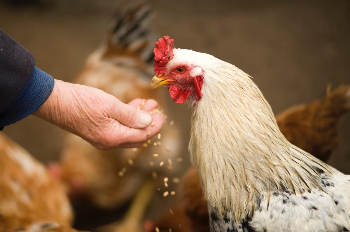 Kindness to a chicken