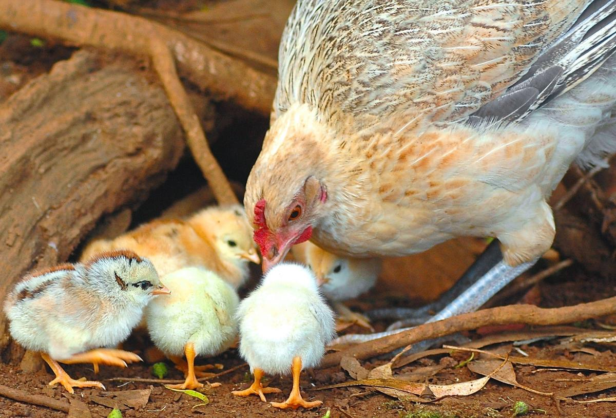 image of a hen with her chicks