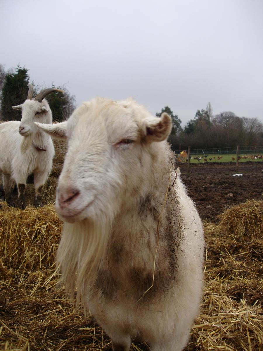 Sceptical goat is sceptical